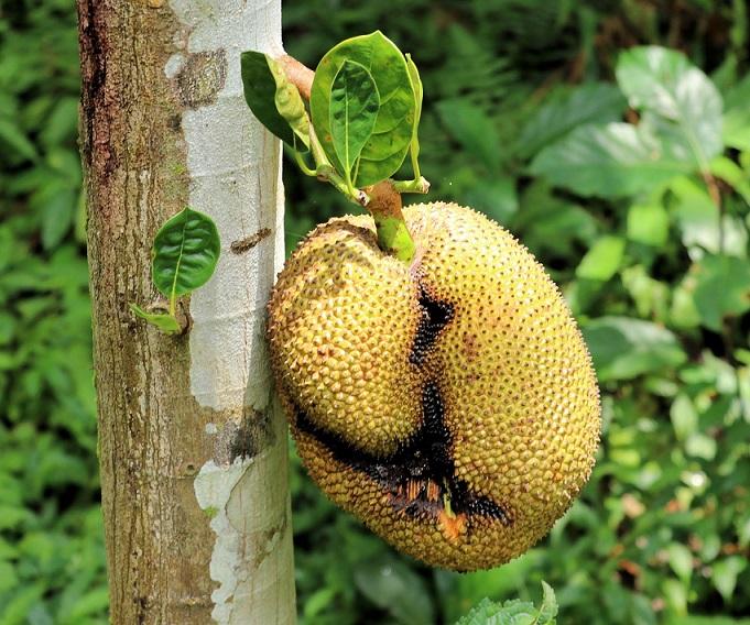 waarom zou je jackfruit eten