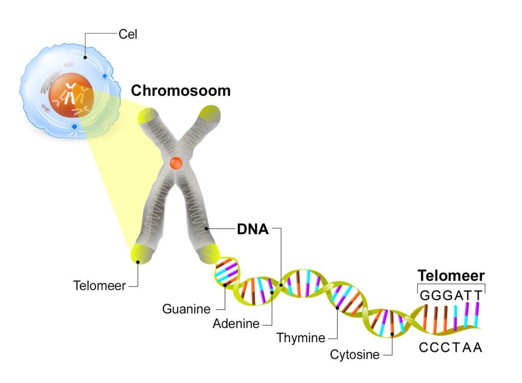 nucleotiden zijn het best bewaarde geheim van voeding. Hier wordt een nucleotide visueel gemaakt vanuit de cel, chromosoom, DNA en telomeer